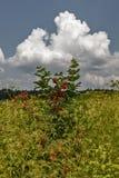 Czerwony elderberry Obraz Royalty Free