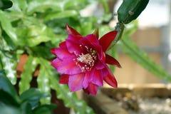 Czerwony epiphyllum Fotografia Royalty Free