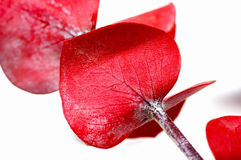 czerwony eukaliptusowa fotografia stock