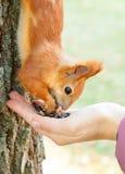 Czerwony europejski wiewiórczy łasowanie od ręki Zdjęcia Royalty Free