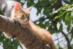 Czerwony figlarki obsiadanie na drzewie na pogodnym letnim dniu figlarka jest przygl?daj?ca lewica greenfield obrazy royalty free
