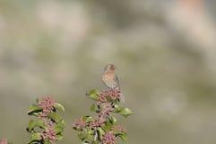 Czerwony Finch na sumakach zdjęcie royalty free