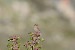 Czerwony Finch na sumakach zdjęcia stock