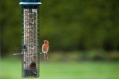 Czerwony finch przy ptasim dozownikiem w wiośnie zdjęcia stock