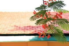 Czerwony Flama Boyant drzewo kwitnie wiązkę z housetop tłem fotografia royalty free