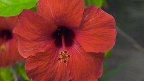 Czerwony floweing poślubnik w lato ogródzie Zamyka w górę kwitnącego czerwonego poślubnika kwiatu Tropikalni kwiaty i rośliny w t zbiory