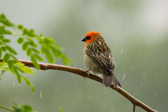 Czerwony Fody na gałąź w deszczu dalej Obraz Royalty Free