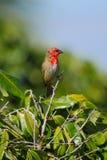 Czerwony Fody ptak Obrazy Royalty Free