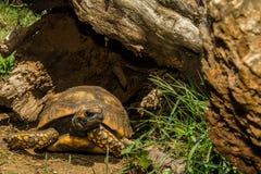 czerwony footed żółwia Fotografia Royalty Free