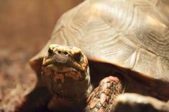 czerwony footed żółwia Zdjęcia Stock