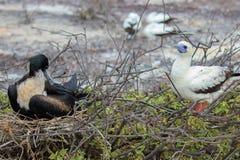 Czerwony Footed durnia ptak na Galapagos wyspach obraz stock