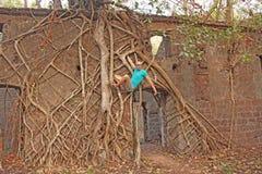 Czerwony fort w India, Goa Korzenie i bagażniki starzy drzewa chwytali t obraz royalty free