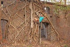 Czerwony fort w India, Goa Korzenie i bagażniki starzy drzewa chwytali t fotografia royalty free