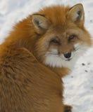 Czerwony Fox Obrazy Stock
