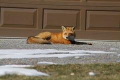 Czerwony Fox Fotografia Stock