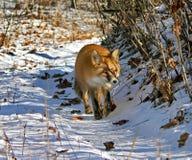 Czerwony Fox 4 fotografia royalty free