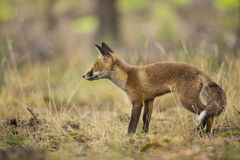 Czerwony Fox Obraz Stock