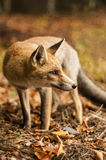 Czerwony Fox zdjęcia royalty free