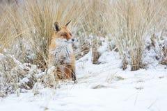 Czerwony Fox Obraz Royalty Free