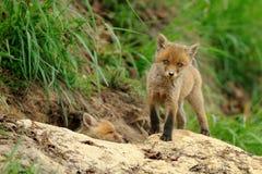 Czerwony Fox Babys Fotografia Royalty Free