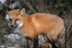Czerwony Fox na Śnieżnym dniu Fotografia Royalty Free