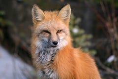 Czerwony Fox na Śnieżnym Wietrznym dniu Obrazy Royalty Free