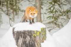 Czerwony Fox Patrzeje Bezpośrednio w zimie Forrest Obrazy Stock