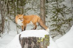Czerwony Fox Patrzeje Courious w zimie Forrest Obrazy Royalty Free