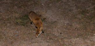Czerwony Fox - Vulpes Vulpes Obrazy Royalty Free