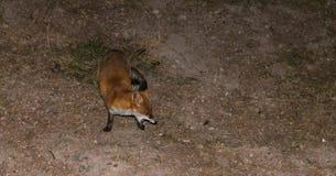 Czerwony Fox - Vulpes vulpes z otwartą szczęką Zdjęcia Stock