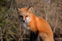 Czerwony Fox w drewnach Fotografia Stock
