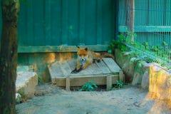 Czerwony Fox w zoo Zdjęcie Royalty Free