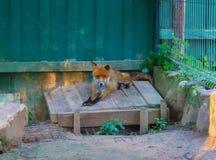 Czerwony Fox w zoo Obrazy Royalty Free