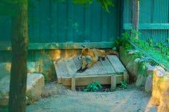 Czerwony Fox w zoo Zdjęcia Royalty Free
