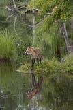 Czerwony Fox z pięknym odbiciem Fotografia Stock