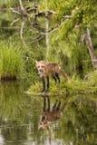 Czerwony Fox Zakrywający z ranek rosą Zdjęcie Royalty Free