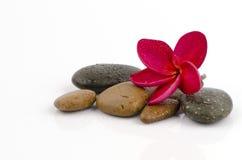 Czerwony Frangipani, Czerwony Frangipani na tło kamieniu. Obraz Stock