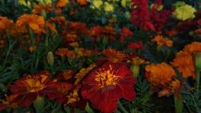 Czerwony Gada kwiat w kwiatu ogródzie w nighttime obrazy stock