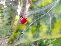 Czerwony garbek na liściu Fotografia Stock