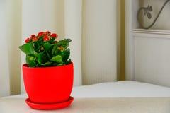 Czerwony garnka kwiat Kalanchoe w wnętrzu Obrazy Stock
