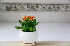 Czerwony garnka kwiat Kalanchoe we wnętrzu pokoju Zdjęcia Stock