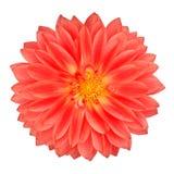 Czerwony garnka nagietka Gerbera kwiat Odizolowywający na bielu obrazy stock