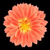 Czerwony garnka nagietka Gerbera kwiat Odizolowywający na czerni zdjęcie royalty free