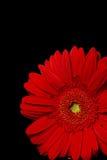 czerwony gerbera Obrazy Royalty Free