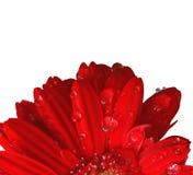 czerwony gerbera Obrazy Stock