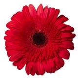 Czerwony gerbera tła głęboka ostrość odizolowywająca nad malinowym biel Zdjęcia Stock