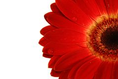 Czerwony gerbera z kroplami woda Fotografia Stock