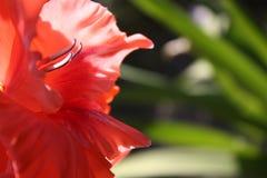 Czerwony gladiolus w ogródzie Obrazy Stock