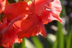 Czerwony gladiolus w ogródzie Obraz Royalty Free