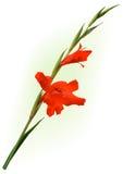 Czerwony gladiolusa kwiat Obrazy Royalty Free